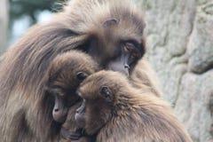 猴子拥抱 库存照片