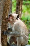 猴子拿着树的罗猴短尾猿 免版税库存照片