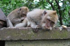 猴子探索 免版税库存图片