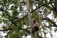 猴子攀登竹子 免版税库存照片