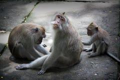 猴子森林巴厘岛 免版税库存图片