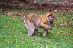 猴子森林-寻找食物 免版税库存图片