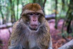 猴子森林-脾气坏的猴子开会 库存照片