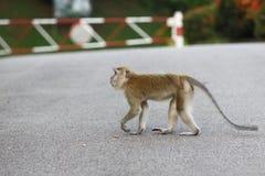 猴子横穿 免版税库存照片