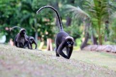 猴子步行在庭院里 库存图片