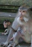 猴子母亲和孩子 免版税库存照片