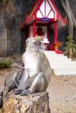 猴子母亲喂养她的婴孩 免版税库存图片