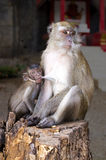 猴子母亲喂养她的婴孩 库存图片