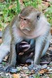 猴子母亲喂养年轻婴孩 免版税库存照片