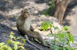 猴子泰国 免版税库存照片