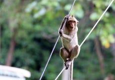 猴子泰国 免版税库存图片