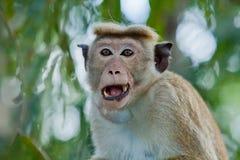 猴子特写镜头 免版税库存照片