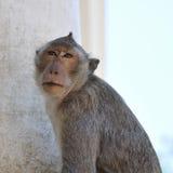 猴子特写镜头  库存图片