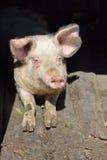 鼻子猪的图片在站立的猪圈里面的在阳光下 工作 免版税库存照片