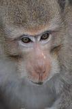 猴子的眼睛 免版税库存图片