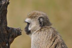 猴子的纵向 库存照片