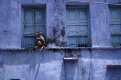 猴子的纵向 免版税库存图片