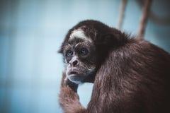 猴子的面孔画象 免版税库存照片