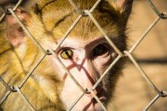 猴子眼睛 库存照片