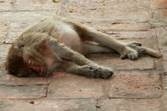 猴子睡眠 库存图片