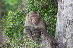 猴子睡觉 免版税库存图片