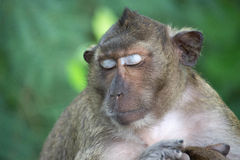 猴子睡觉 免版税图库摄影