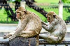 猴子社会技能, Lopburi泰国 库存照片