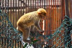猴子逃命行动1 图库摄影