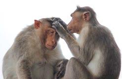 猴子采摘谎言 图库摄影