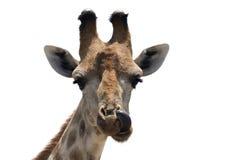 鼻子采摘长颈鹿 库存图片