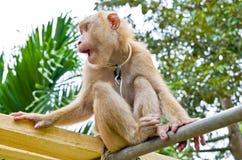 猴子采撷椰子 库存照片