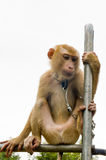 猴子采撷椰子 库存图片