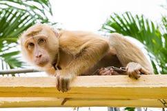 猴子采撷椰子 免版税库存图片