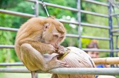 猴子采撷椰子 免版税库存照片
