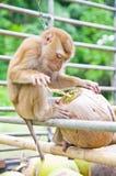 猴子采撷椰子 图库摄影