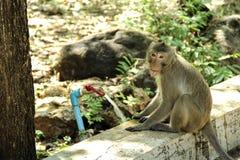 猴子长尾的短尾猿,螃蟹吃短尾猿 库存图片