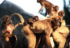 猴子,狒狒很多家庭兽性 免版税库存照片