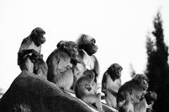 猴子,狒狒很多家庭动物背景 免版税库存照片