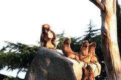 猴子,狒狒很多家庭动物背景 免版税库存图片
