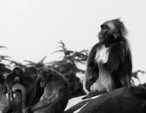 猴子,狒狒很多家庭动物背景 免版税图库摄影