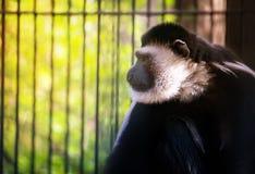 猴子,白色被递的长臂猿是坐,使用以绿色叶子为背景 免版税图库摄影