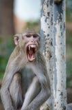 猴子,螃蟹吃短尾猿 库存照片