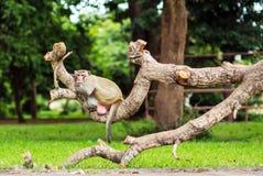 猴子猴子坐树 图库摄影