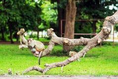 猴子猴子坐树 库存照片