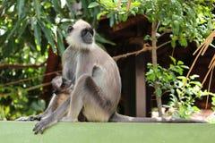 猴子婴孩哺乳从它的母亲的牛奶 库存图片