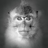 猴子画象 免版税库存照片
