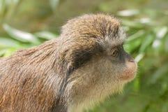 猴子画象 库存图片