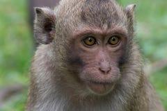 猴子画象 免版税图库摄影