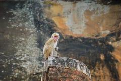 猴子 锡吉里耶,斯里兰卡 免版税库存照片