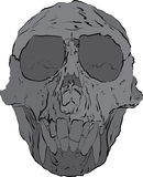 猴子头骨 图库摄影